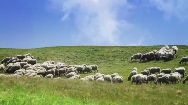 Flock of sheep in a green meadow — Stock Video