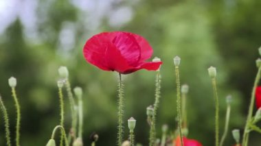 Red poppy flowers swaying on the wind — Stock Video
