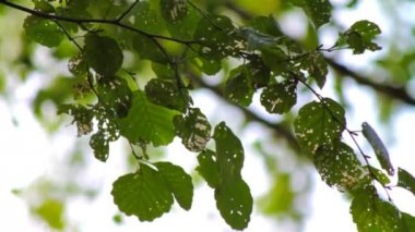 Tree leaves devastated by caterpillars — Stok video