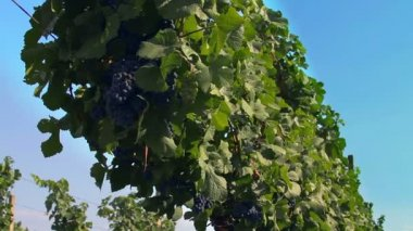 Grape vine plants in vineyards plantation — Stock Video