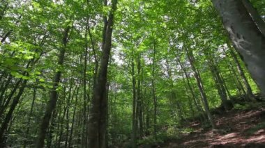 Thick deciduous forest — Stockvideo