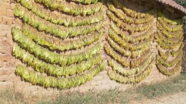 Tobacco leaves drying in the sun — Stock Video