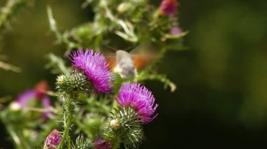 Bird Hawk Moth pollinating wild flower — Wideo stockowe
