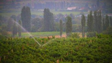 Grapevines plantation — Stock Video