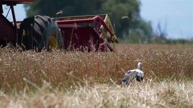 Combine Harvesting Ripe Wheat — Stock Video