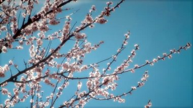 Blooming peach twigs — Stock Video