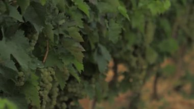 Vineyard plantation — Stock Video