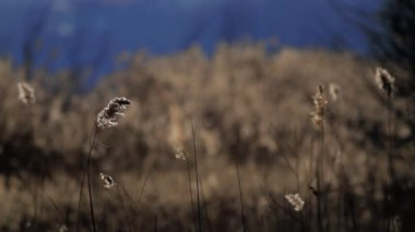 Reed plant stems — Stock Video