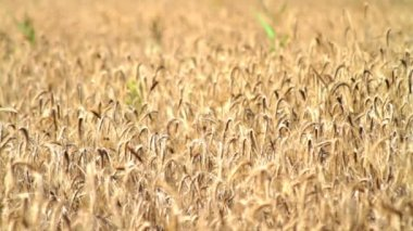 Stems and ears of ripe rye — Stock Video