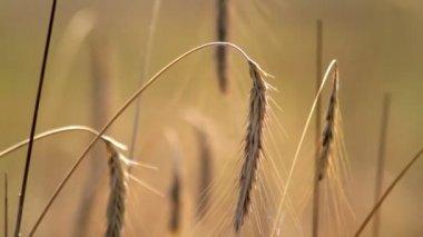 Ears of ripe rye — Stock Video