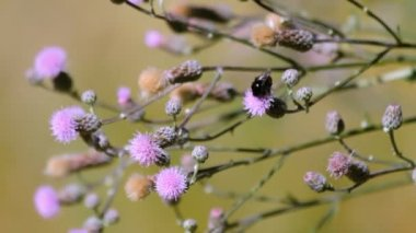 Bugs pollinating Creeping Thistle plant — Stock Video