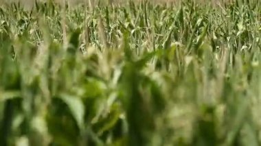Cornfield swaying in the wind — Stock Video