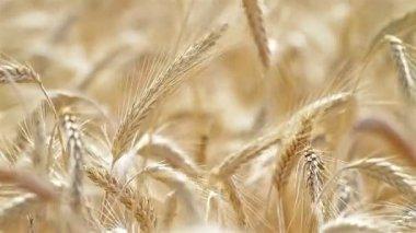 Rye ears swaying in the breeze — Stock Video