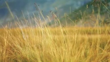 Yellow grass swaying on the breeze — Stock Video