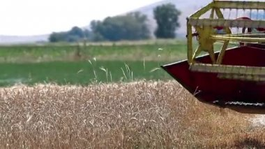 Combine Harvesting Ripe Wheat — Stock Video