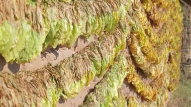 Traditional way of tobacco drying — Stock Video