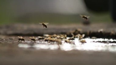 Bees collecting water — Stock Video
