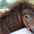 Dwarf horse. — Stock Photo