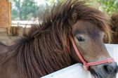 Dwarf horse. — Stok fotoğraf