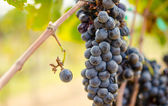 Purple grape wine making — Stock Photo