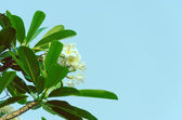 Frangipani tree vintage. — Stock Photo