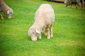 Sheep — 图库照片