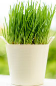 Wheat grass in pot — Stock Photo
