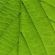 Biological texture of the leaf — Stock Photo