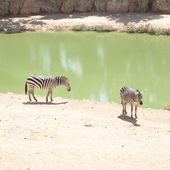 Zebras grazing in Lake — Stock Photo