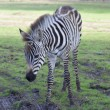 The plains zebra  close up - Stock Photo