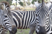 The plains zebra close-up — Stock Photo