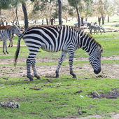 The plains zebra close up — Stock Photo