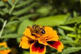 Flower fly — Stock Photo
