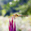 Dragonfly — Stock Photo #30010377