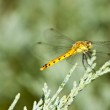 Dragonfly — Stock Photo #30353189