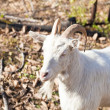 Stock Photo: House goat