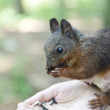Little squirrel — Stock Photo #50615461