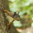 Little squirrel — Stock Photo #50615509