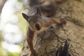 Little squirrel — Stock fotografie
