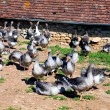 These geese are bred for production of foie gras - Foto Stock