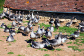 These geese are bred for production of foie gras — Stock Photo