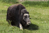 The muskox is an Arctic mammal — 图库照片