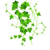 Green ivy — Stock Vector