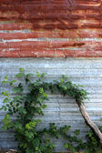 Rusted corrugated Iron with Wild Rose — Stock Photo