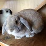 Cute Lop Ear Rabbits in Hutch — Stock Photo