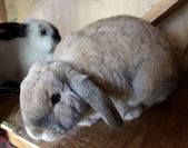 Cute Lop Ear Rabbits in Hutch — Stock Photo