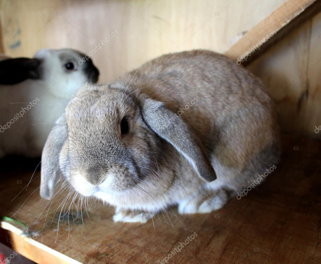 Cute Lop Ear Rabbits in Hutch  Stockfoto #13320239