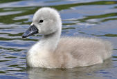 Young Mute Swan Chick — Stock Photo