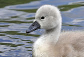 Young Mute Swan Chicks — Stock Photo