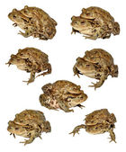 Common Toads Mating — Stock Photo